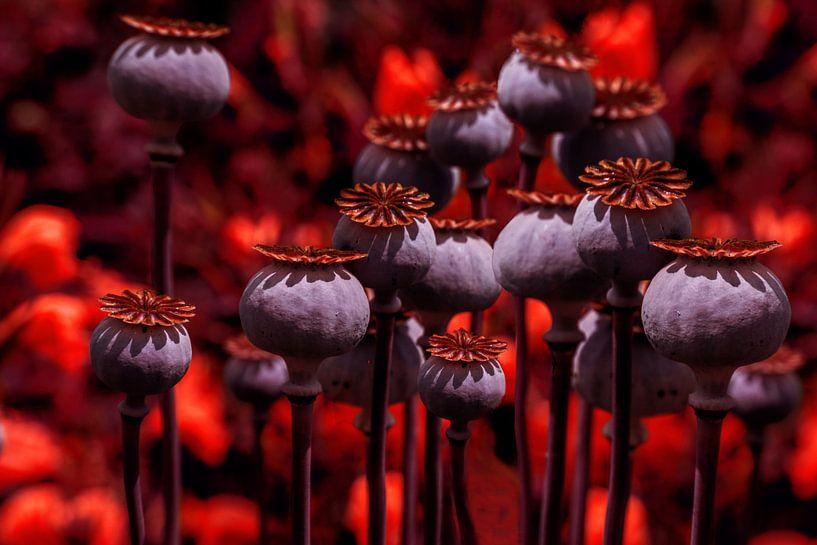 Poppy lichten van Christine Nöhmeier