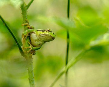 boomkikker ,tree frog  van Maria  Van Dijk