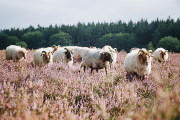 De schaapskudde Drentse Heideschapen op de bloeiende Hilversume hei bij Crailo, Bussum, Nederland van Evelien Lodewijks