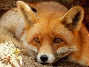 gros plan d'un renard se trouvant dans l'ombre et dans le sable sur Joke te Grotenhuis