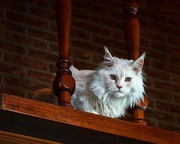 Persian male cat von Frank Hoekzema
