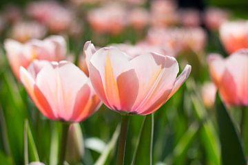 Tulpen in het zonnetje von Petra Brouwer