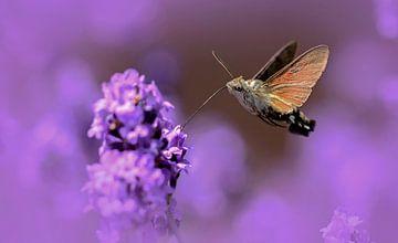 kolibrievlinder van Maria  Van Dijk