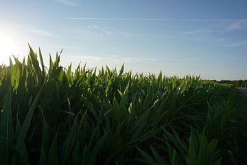 Maïsveld bij vroege zonsondergang van Robert van Nieuwaal