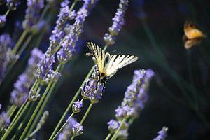 Vlinder op lavendel van