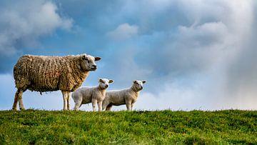 Moeder met dochters - lammetjes op Texel van Texel360Fotografie Richard Heerschap