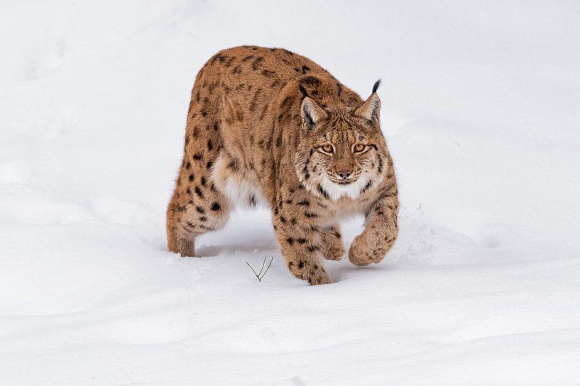 Lynx in the snow van Desirée Couwenberg