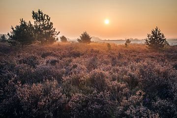 Sunrise above heather in September sur Mike Baltussen