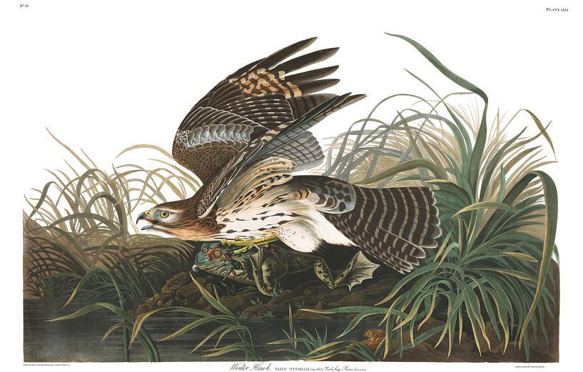 Roodschouderbuizerd van Birds of America