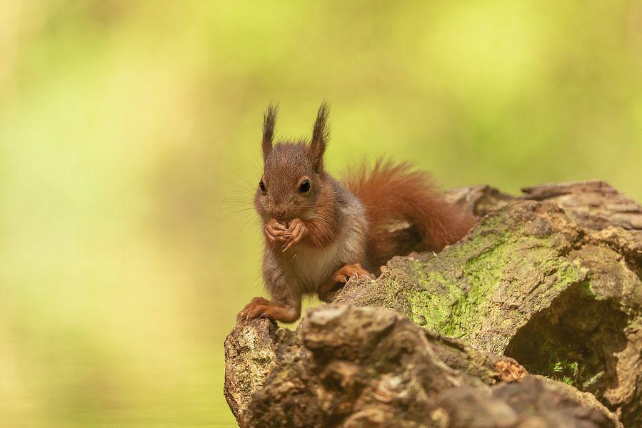 Jong eekhoorntje van Gonnie van de Schans