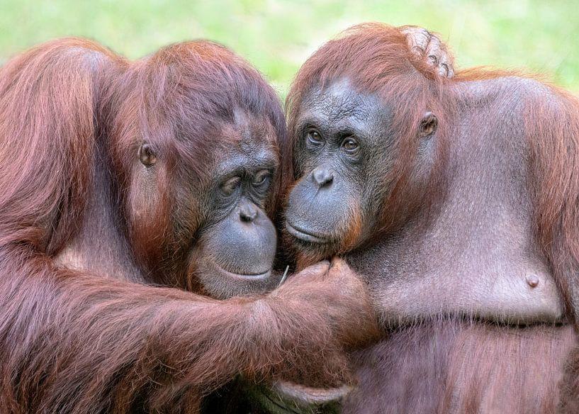Twe Orang Oetanns knuffelen elkaar. van Albert Beukhof