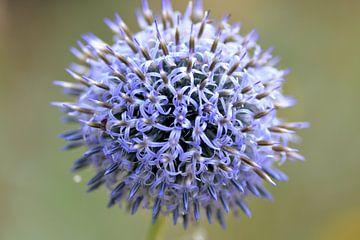 paarse bloem van Petra De Jonge