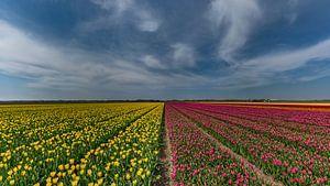 Tulpen op Texel von