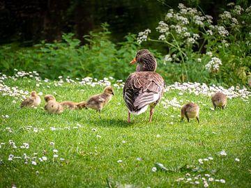 Ganz met kuikens in het gras van Charlotte Dirkse