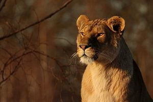 Lioness in the evening sun
