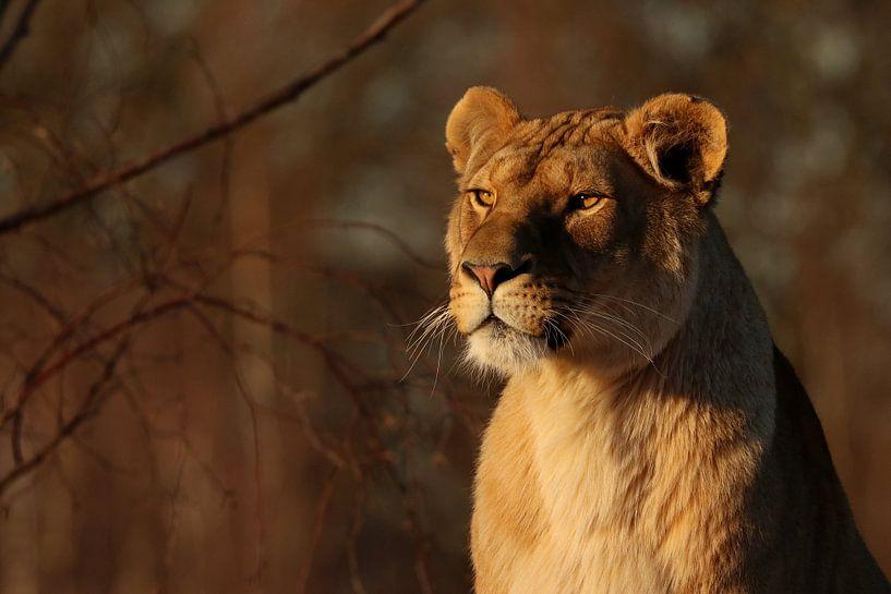 Lioness in the evening sun van Tazi Brown