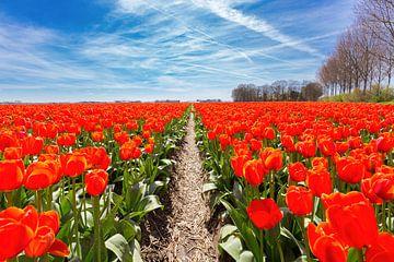 Tulpen Feld Pfad zwischen roten Blumen und blauen Himmel in Holland von Ben Schonewille