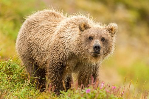 Jonge Grizzly beer in het gras van