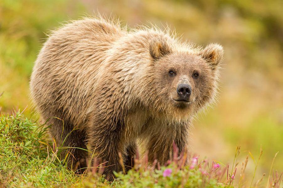 Jonge Grizzly beer in het gras van Michael Kuijl