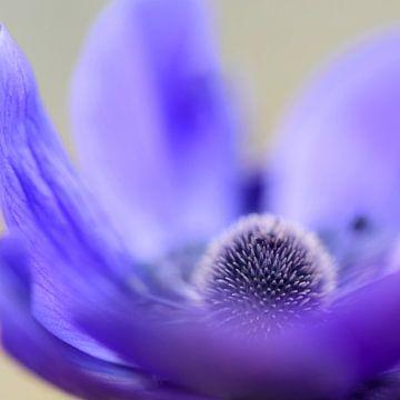Violette Anemone von Ellen de Ridder