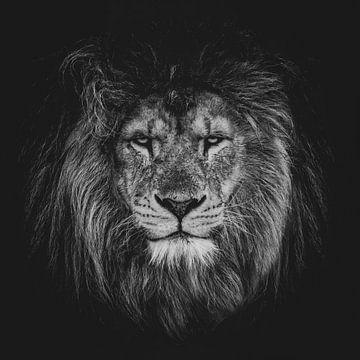 Lion sur Aron Nijs