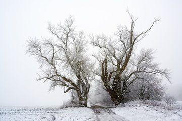 zwei alte Pappelbäume auf einem Feldweg bei kaltem grauen Winterwetter, Kopierplatz von Maren Winter