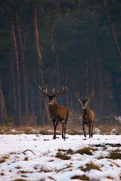Edelherten in het Nationaal Park de Hoge Veluwe van