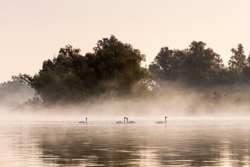 Zwanen met mist in de Biesbosch van Evelien Oerlemans