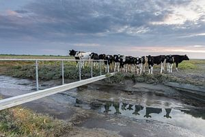 Koeien op de kwelder - Natuurlijk Wadden