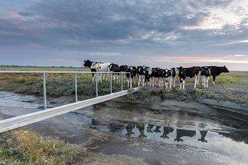 Koeien op de kwelder - Natuurlijk Wadden van Anja Brouwer Fotografie