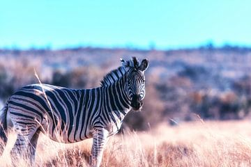 Zebra Portret op de Afrikaanse Steppe van Aad Clemens
