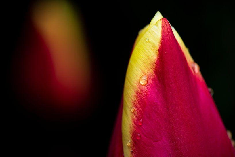 Tulp met regendruppels van Ton de Koning