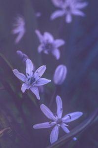 Scilla siberica (oosterse sterhyacint)