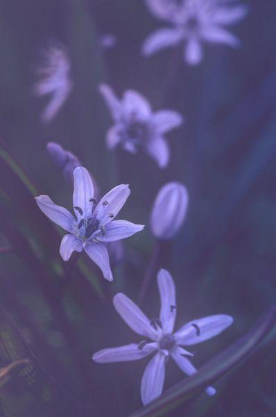 Scilla siberica (oosterse sterhyacint) van Alessia Peviani