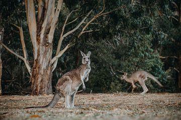 Kangourou 3 sur Marscha van Druuten