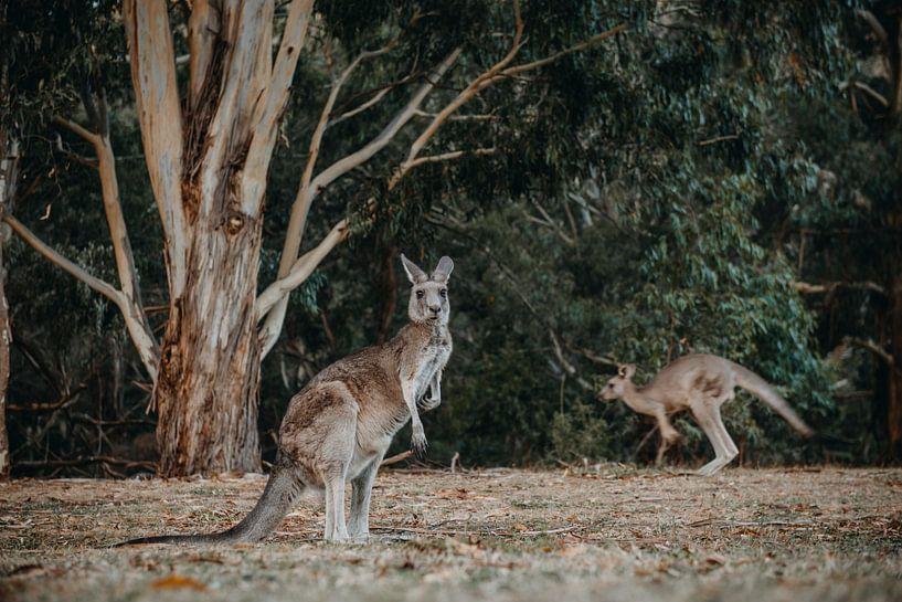 Känguru 3 von Marscha van Druuten