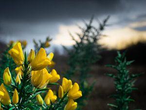 Gele bloem in de duinen