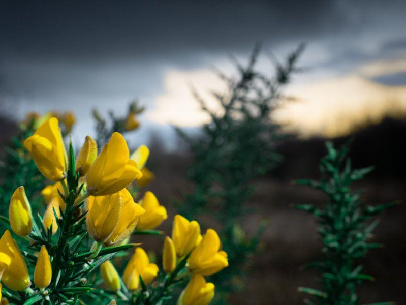 Gele bloem in de duinen van Matthijs Noordeloos