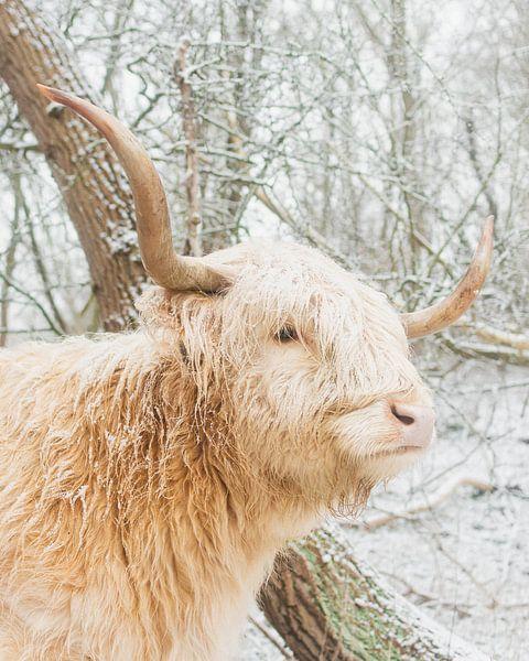 Blonde schotse hooglander in de sneeuw van Jan Willem De Vos