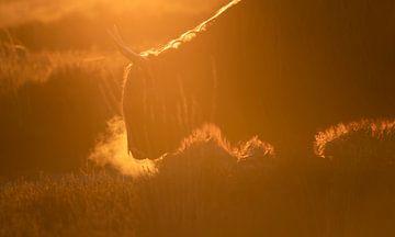 Schotse hooglander in oranje avondgloed van Henk Groenewoud