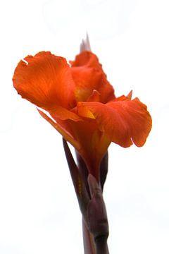 Rode bloem von Tessa Louwerens