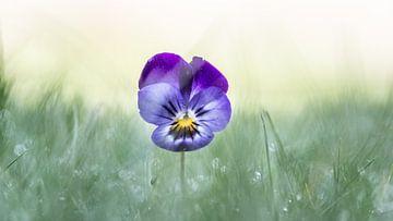 Verloren viooltje helemaal alleen in het gras van Ab Donker
