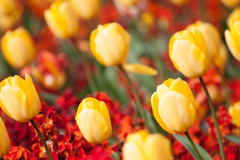 Gele tulpen von Ramon Bovenlander