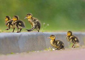 Jumpende jonge eendjes van