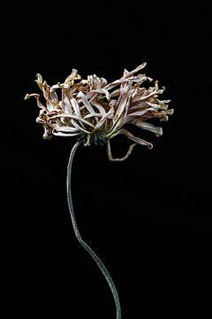 Weitgehend getrocknete Blume mit langem Stiel von Steven Dijkshoorn