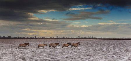 Konik pferde im Lauwerssee in Holland wahrend sturm und hochwasser.