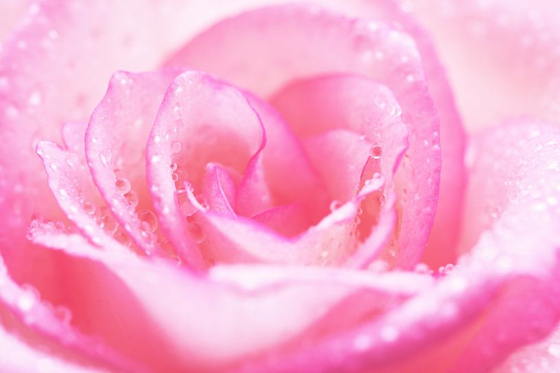 Rose Droplets van LHJB Photography