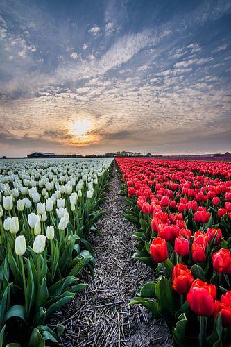 tulpen bij ondergaande zon 04
