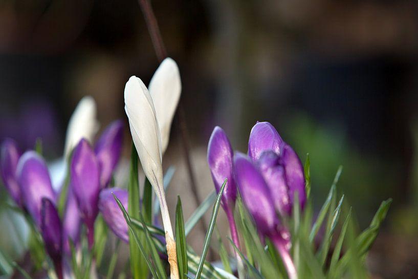 Tere krokussen in een tuin van Fleur Halkema