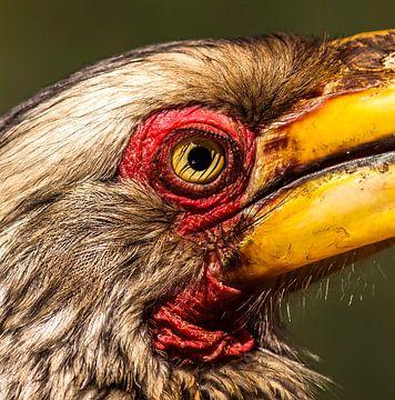 Geelsnavel Tok (Neushoornvogel) van Rob Smit